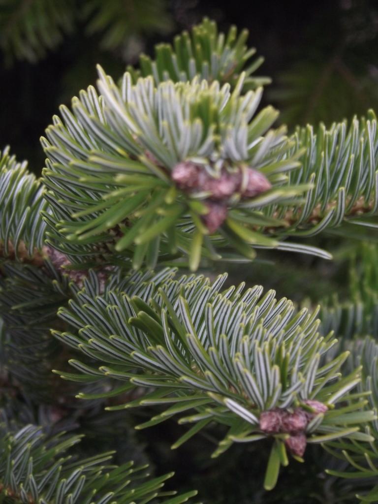 Semidesert Conifers 8