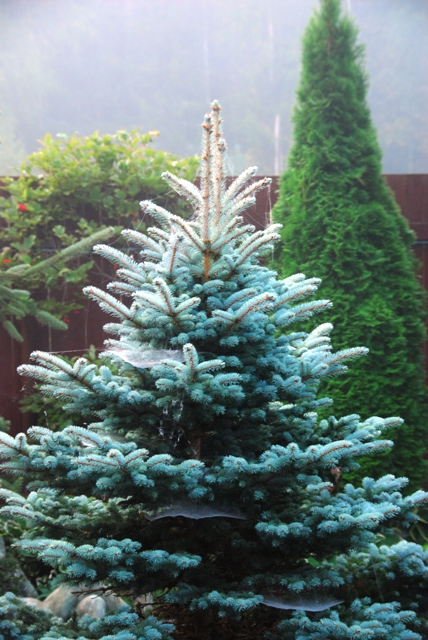 picea pungens glauca the image kid has it. Black Bedroom Furniture Sets. Home Design Ideas