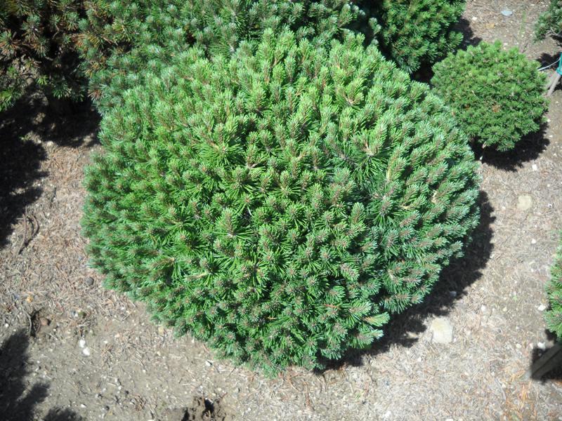Сосна горная Пумилио  Pinus mugo Pumilio