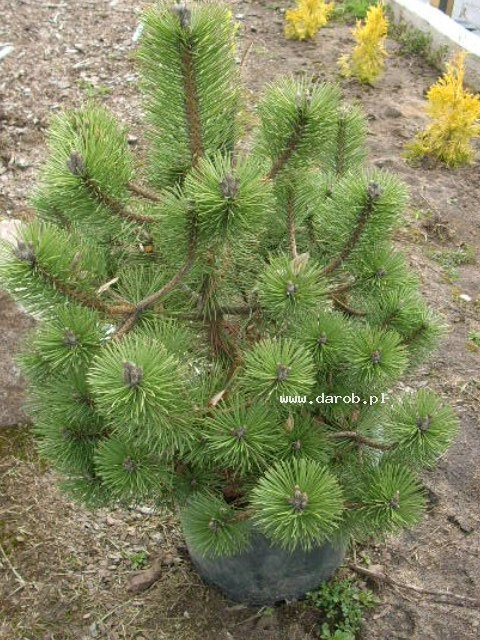 Pinus nigra Rondello Schwarzkiefer Rondello